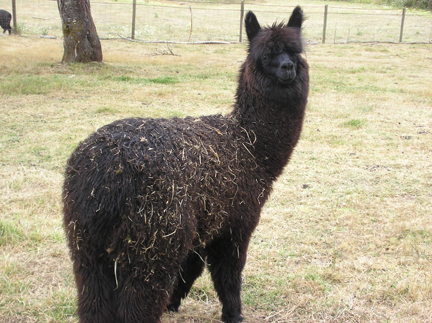 Ruben, one of the alpacas