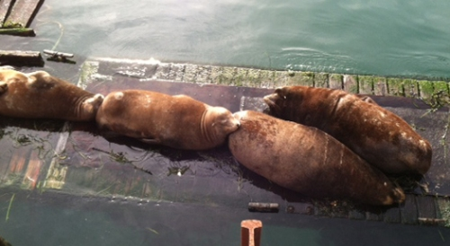 Sea lions napping near the pier