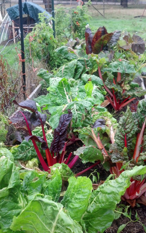 Looking at these gorgeous chard plants shows that she is doing her job well!