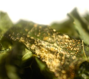 kale-chip-with-yeast